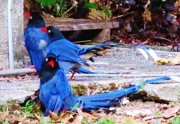 Taiwan Blue Magpies at Huisun, December 9th.
