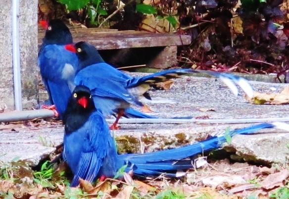 Taiwan Blue Magpies at Huisun, December 9th.