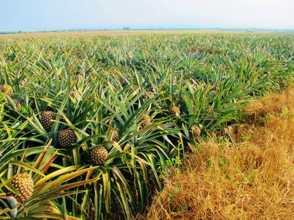 Pineapple fields at Jiadong - ideal Blue-breasted Quail habitat. It's impossible to see one among the pineapples, but it is sometimes possible to flush one from the long grass at the edge of the pathways.