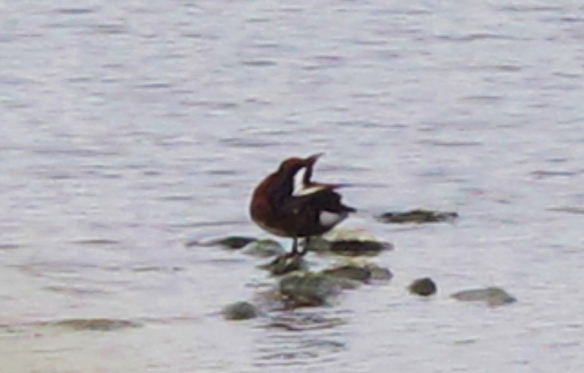 Ferruginous Duck (presumed adult female), Yuanfugang Wetlands Park, Kaohsiung, January 20th. Record shots with hand held camera, taken through a gap in the fence!
